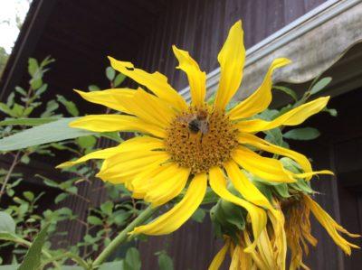 Foto von einer Sonnenblume auf meinem vom Balkon.